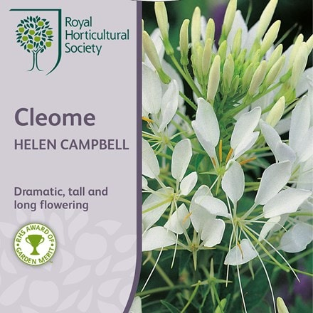 Cleome hassleriana Helen Campbell