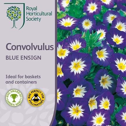 Convolvulus tricolor Blue Ensign