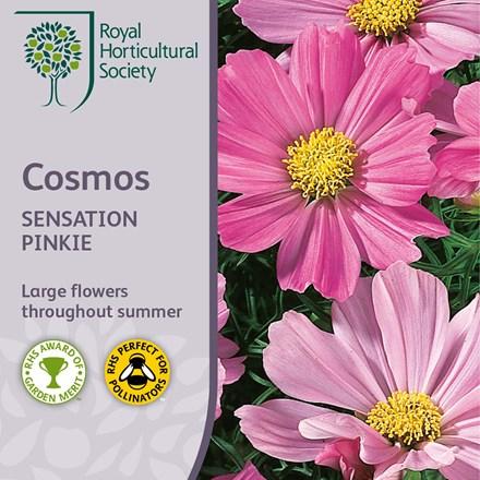 Cosmos bipinnatus Sensation Pinkie (Sensation Series)