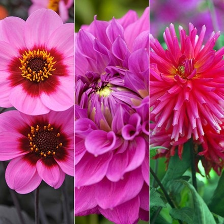 Irresistible Pink dahlia collection