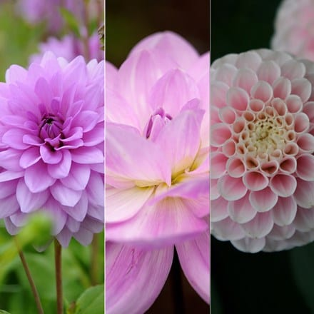 Pastel dahlia collection