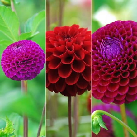 Ruby and amethyst dahlia collection