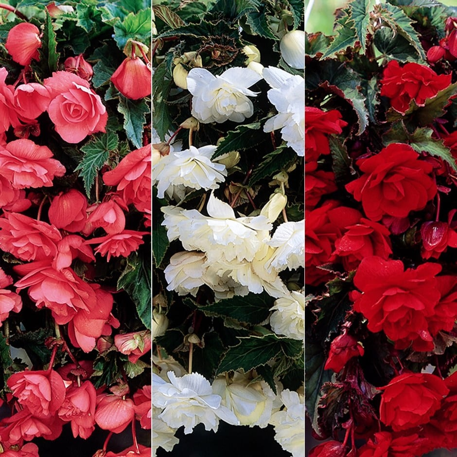Begonia collection for hanging baskets and pots 6+3 Free tubers