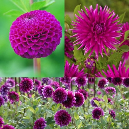 Purple dahlia collection