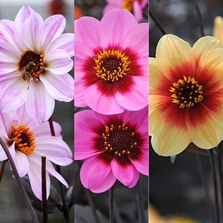 Dahlias for bees and  butterflies