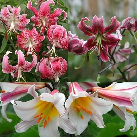 Lilium Favorite Lilies
