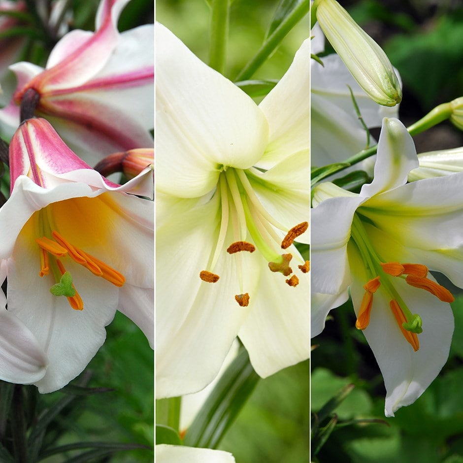 buy lily collection best white lilies collection 15 98 delivery by