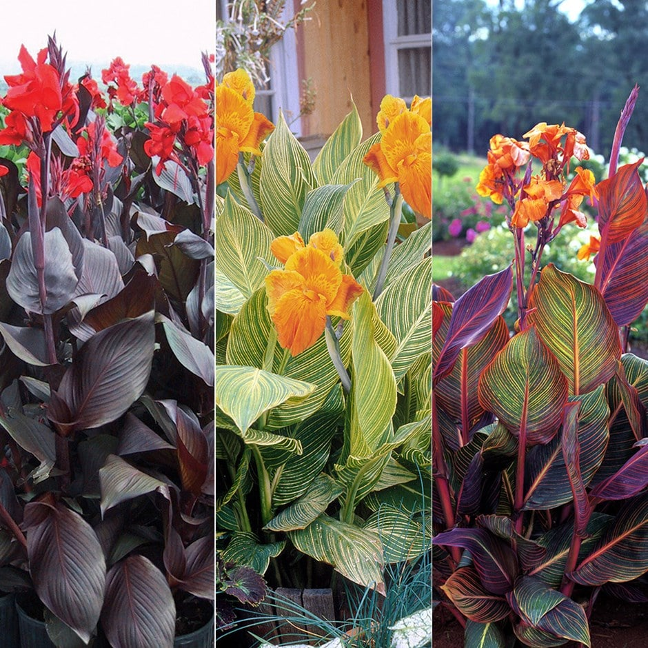 Buy Indian Shot Bulbs Tropicana Cannas 75 Delivery By Crocus
