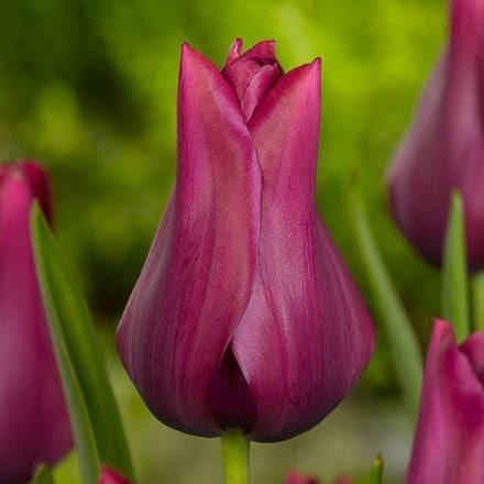 Tulipa Merlot