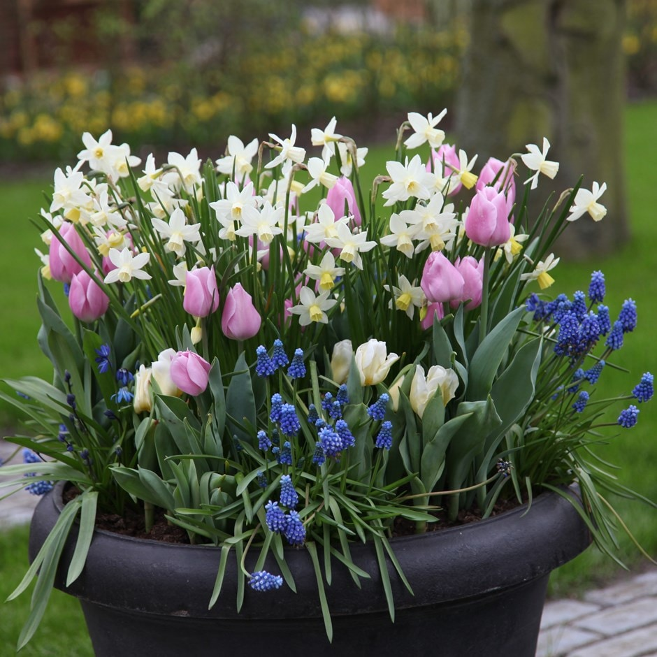 Buy Bulb Lasagne Collection For Pots Bulbs For Pots Spring