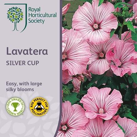 Lavatera trimestris Silver Cup