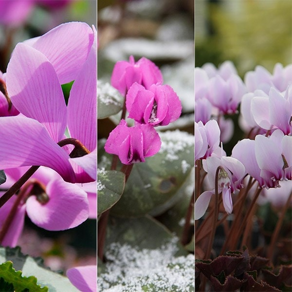 Award winning hardy cyclamen collection