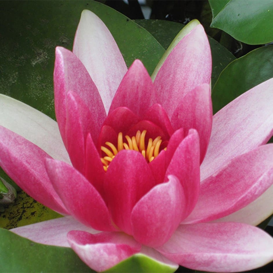 Buy Water Lily Nymphaea Charles De Meurville: £29.99