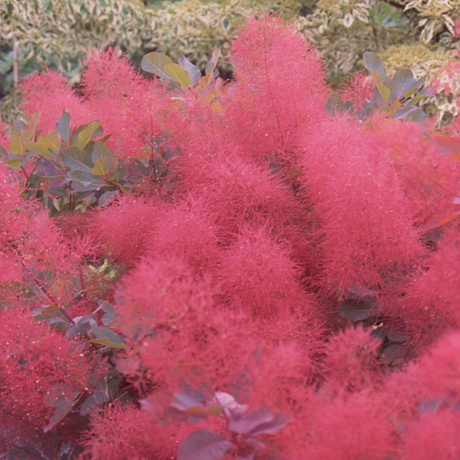 Buy Smoke Bush Cotinus Ruby Glow Delivery By Waitrose