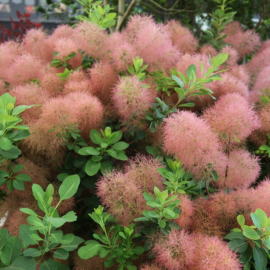 Buy Smoke Bush Cotinus Candy Floss 18 99 Delivery By Crocus