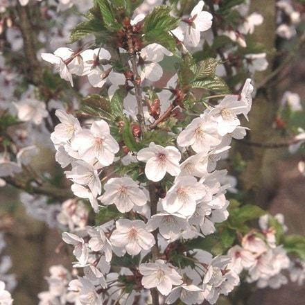 Prunus Snow Goose