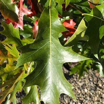 Quercus palustris Green Pillar ('Pringreen')