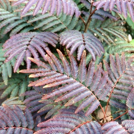 Albizia julibrissin Chocolate Fountain ('Ncaj1')