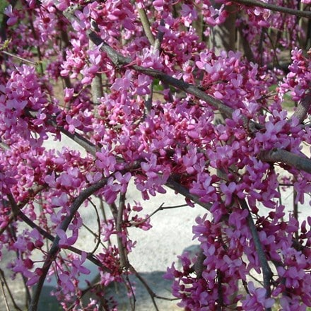 Cercis canadensis Lavender Twist ('Covey')
