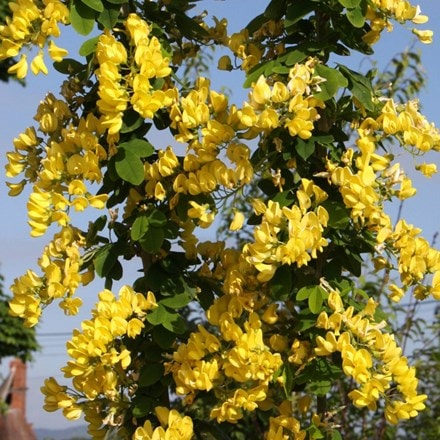 Laburnum anagyroides Yellow Rocket