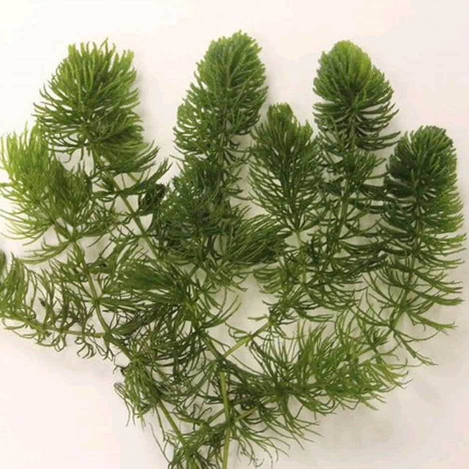 Buy hornwort ceratophyllum demersum delivery by crocus for Oxygenating plants for fish ponds