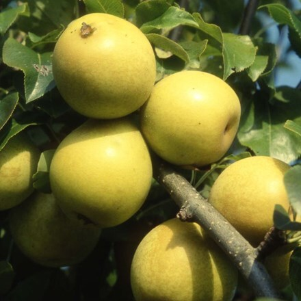 pear Benita ('Rafzas')