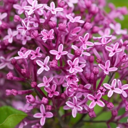 Syringa Bloomerang Dark Purple ('Smsjbp7') (PBR)