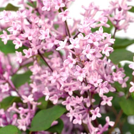 Syringa Bloomerang Pink Perfume ('Pink Perfume')