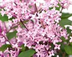 repeat flowering lilac