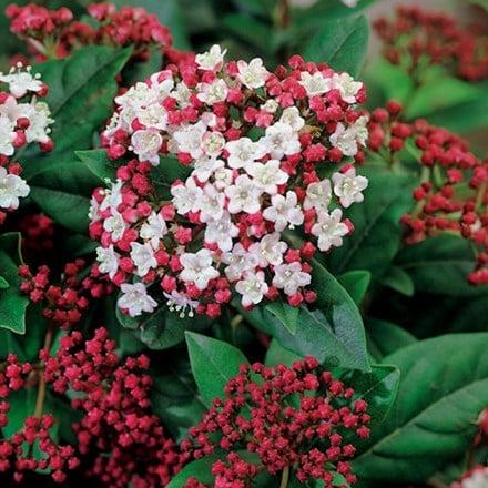 Viburnum tinus Lisarose (PBR)
