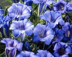 showy Chinese gentian