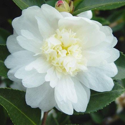 Camellia sasanqua Winter's Snowman