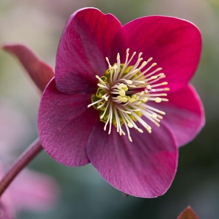 Helleborus (Rodney Davey Marbled Group) Anna's Red