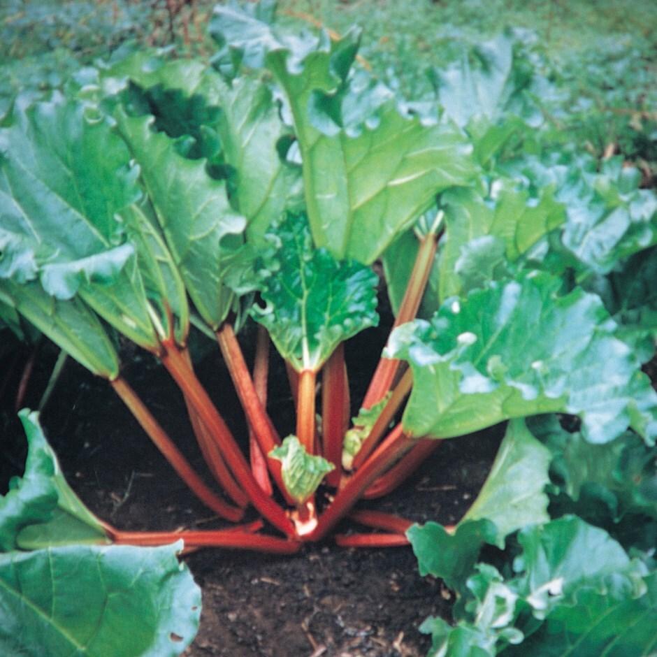 Livingstone autumn rhubarb