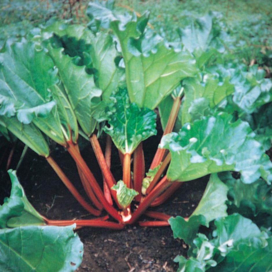Buy Livingstone Autumn Rhubarb Rheum Hybridum Livingstone Pbr