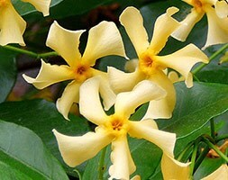 yellow star jasmine