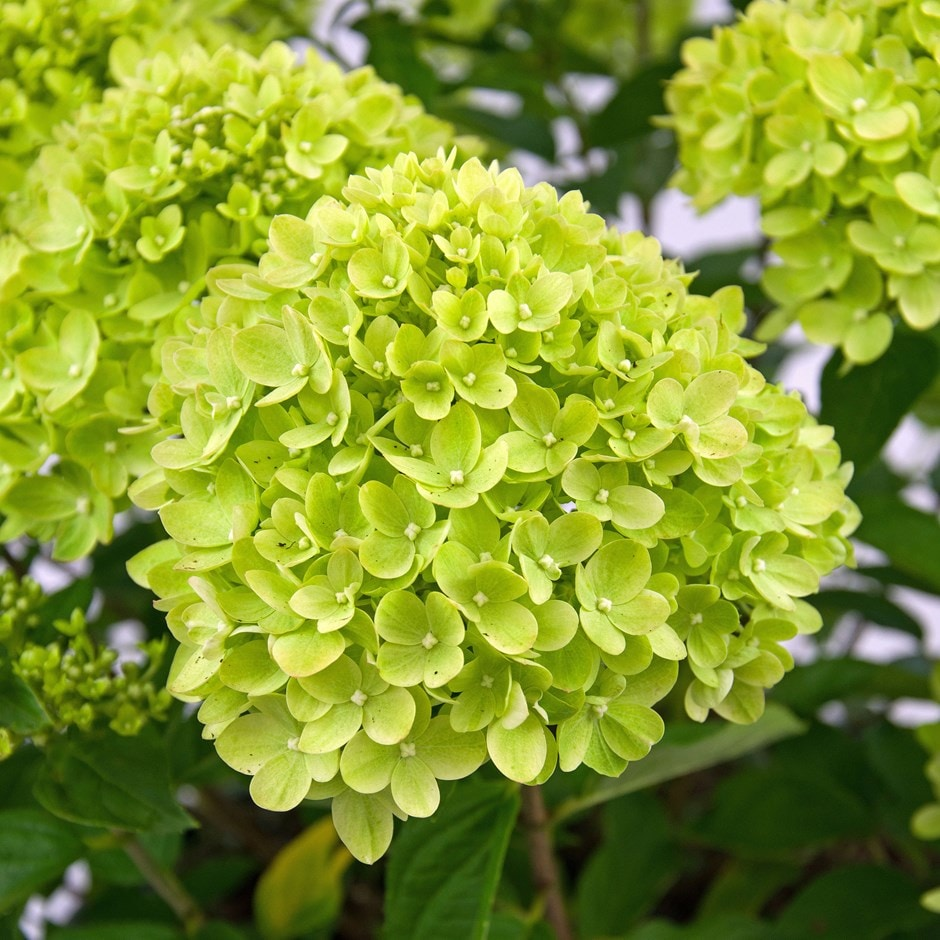 Buy hydrangea hydrangea paniculata 39 little lime 39 jane for Trees garden of jane delawney blogspot