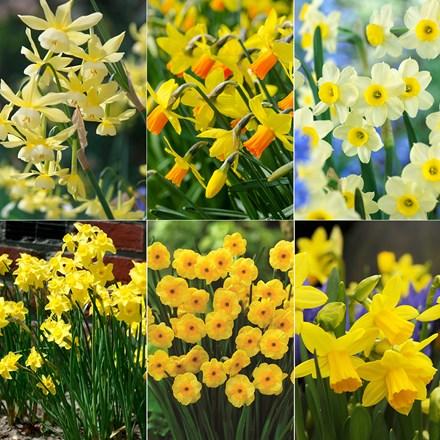 Award-winning compact daffodils