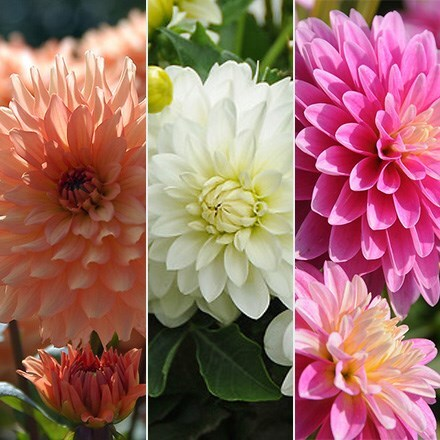 Award winning dahlia collection