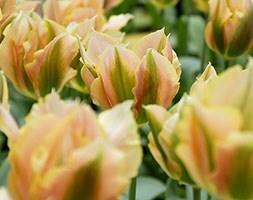viridiflora tulip bulbs