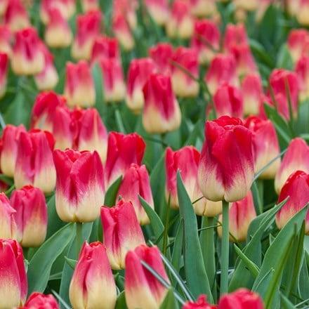 Tulipa Match