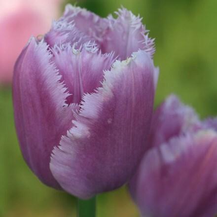 Tulipa Lilac Crystal