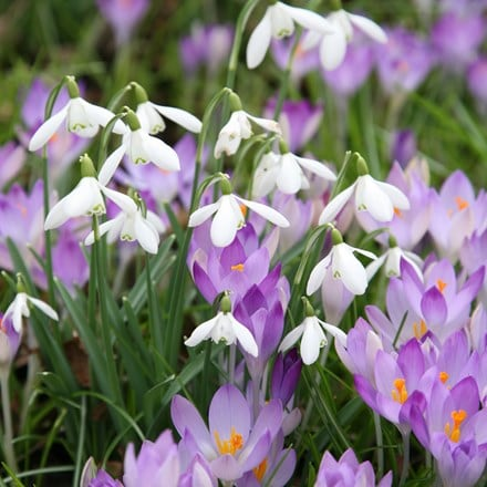Crocus and snowdrop collection
