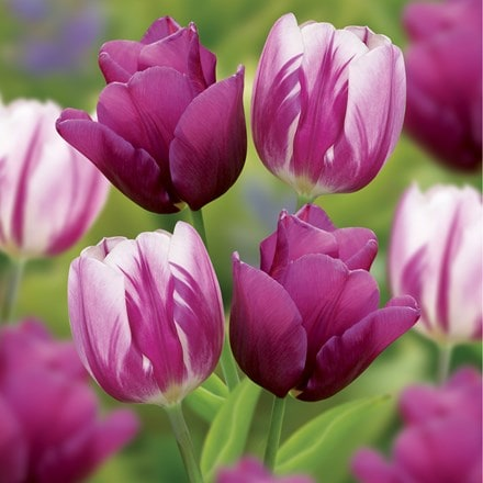Berry swirl tulip collection