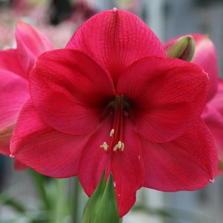 Hippeastrum (Galaxy Group) Lagoon (PBR)