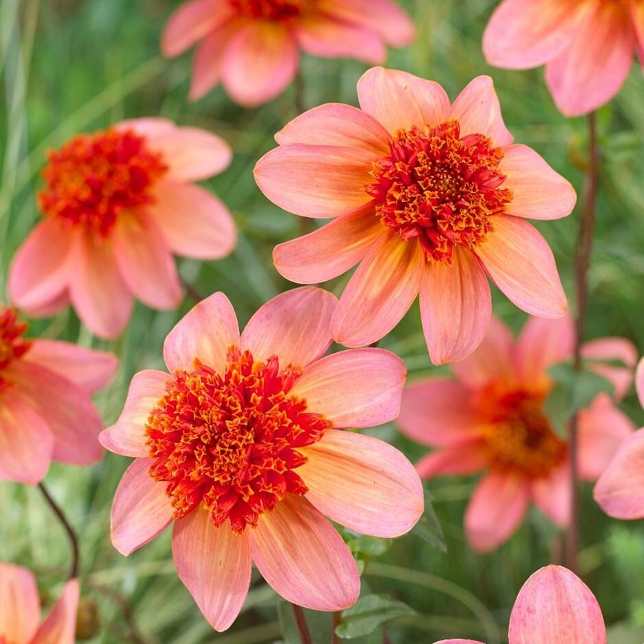 anemone dahlia tuber
