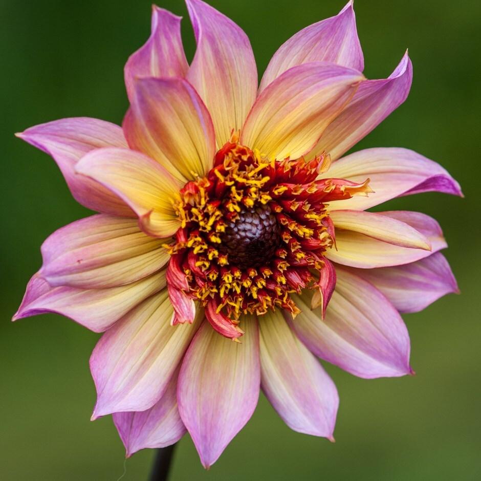 anemone-flowered dahlia tuber