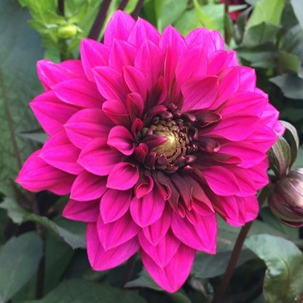 Dahlia Purple Haze
