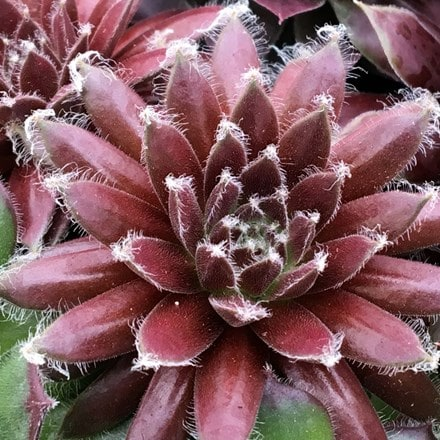 Sempervivum (Chick Charms®) Cosmic Candy