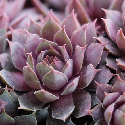 Sempervivum (Chick Charms®) Plum Parfait